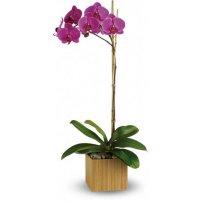 Orquídea Phalaenopsis, Mexico